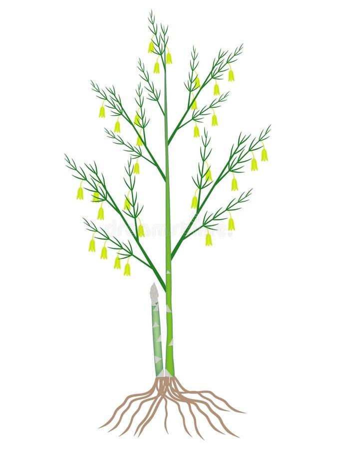 Arbusto de florecimiento del espárrago con las raíces aisladas en el fondo blanco libre illustration