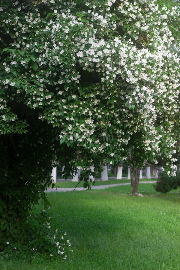 Arbusto de florecimiento del philadelphus en el parque de la ciudad El Moldavia, junio de 2019 foto de archivo