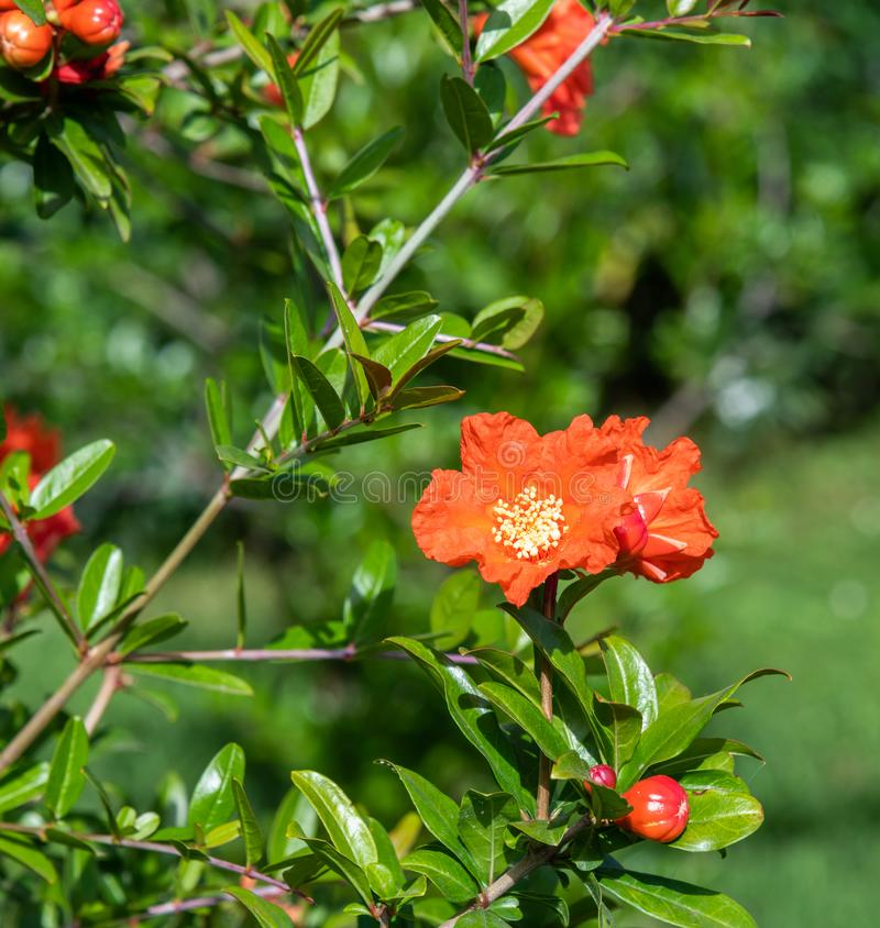 Arbusto de florecimiento de la granada con flores rojas foto de archivo libre de regalías
