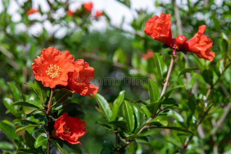Arbusto de florecimiento de la granada con flores rojas fotos de archivo libres de regalías