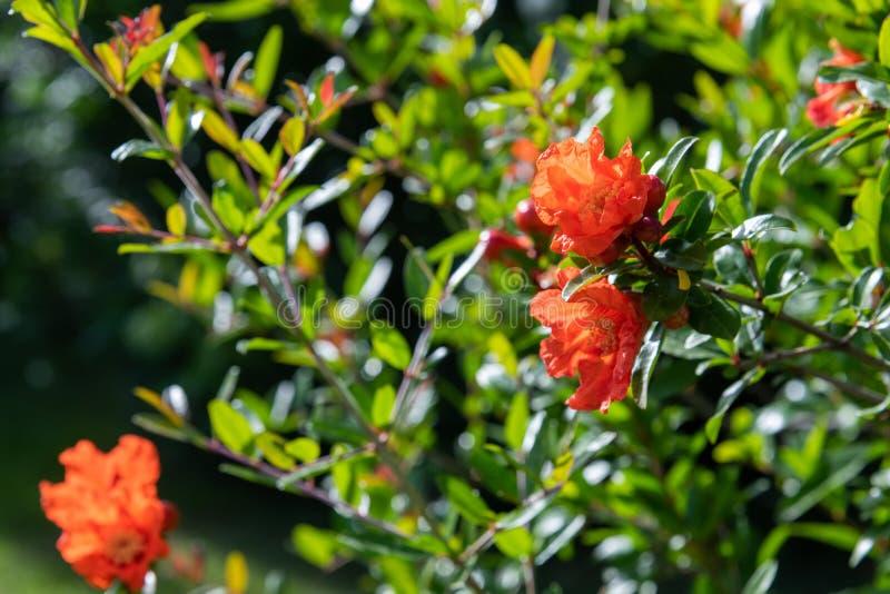 Arbusto de florecimiento de la granada con flores rojas fotos de archivo
