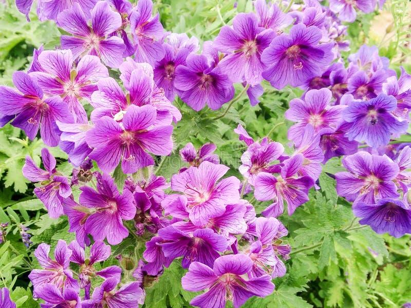 Arbusto de flores lilas imagenes de archivo