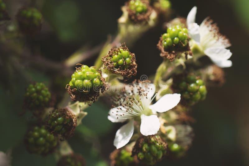 Arbusto de florescência de Blackberry com bagas verdes Flores cor-de-rosa do arbusto de amora-preta bonito na mola foto de stock royalty free