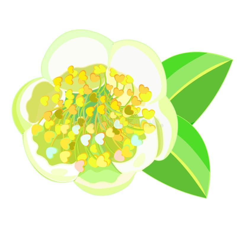 Arbusto de florescência Camellia Chinese do chá Ilustração do vetor ilustração stock