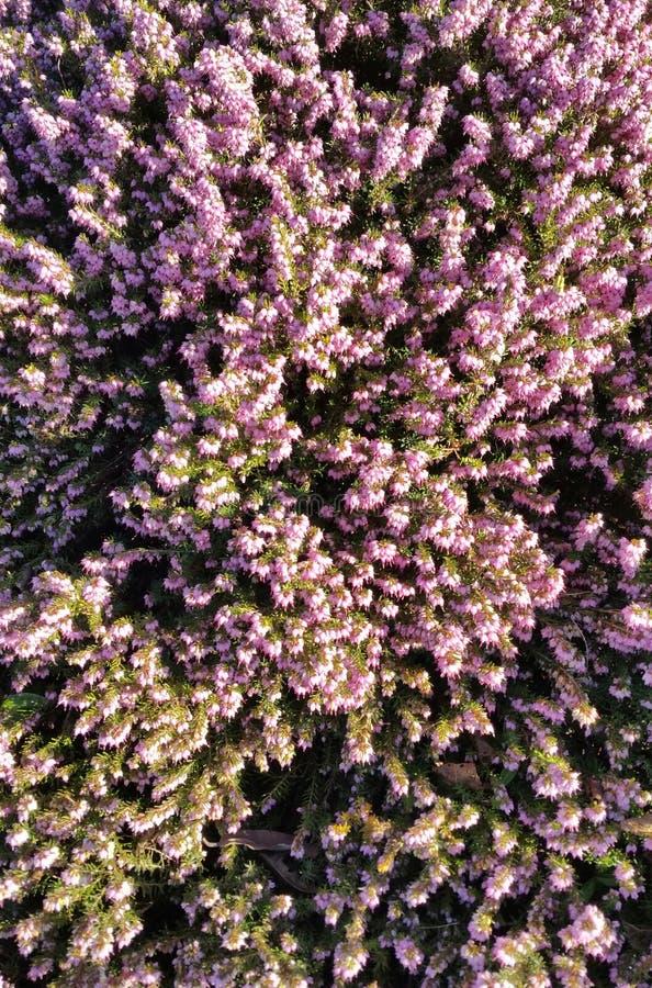Arbusto de florescência cor-de-rosa imagens de stock royalty free
