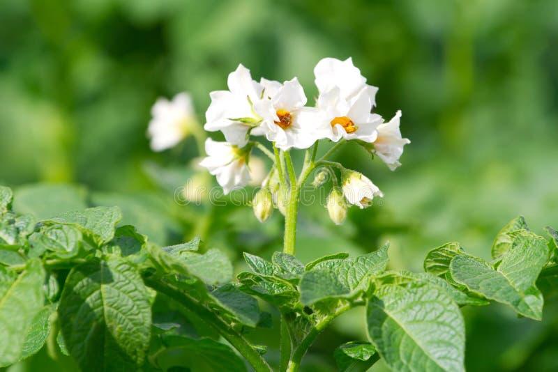 Arbusto de florescência da batata fotografia de stock royalty free