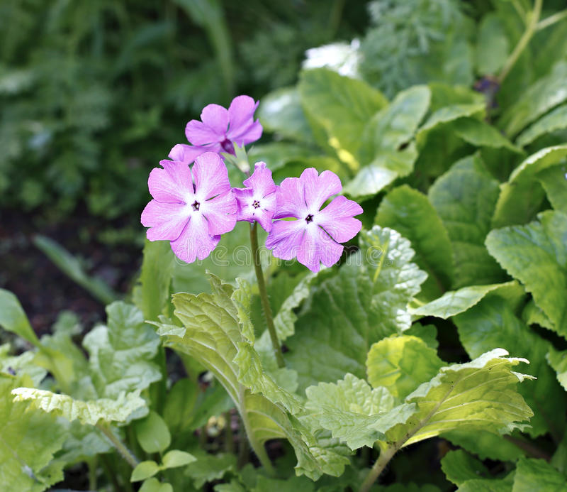Arbusto de florescência da prímula cor-de-rosa (prímula) imagens de stock