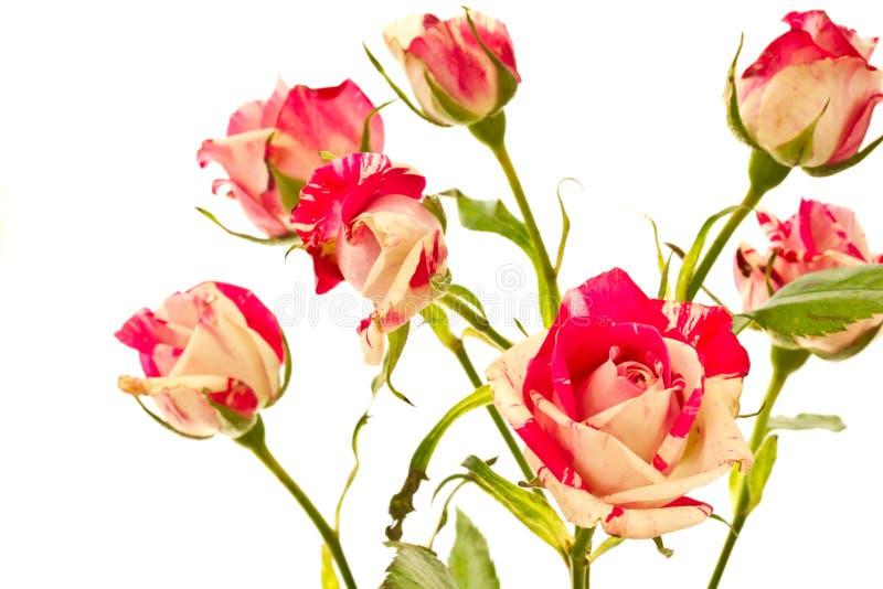 Arbusto de florescência de rosas vermelhas fotografia de stock