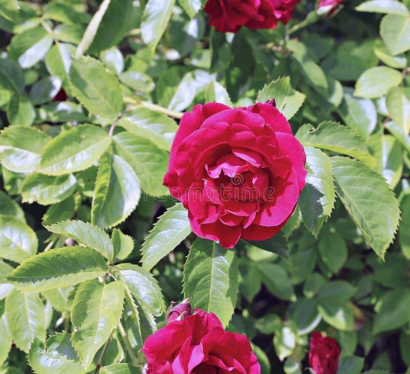 Arbusto de florescência de rosas vermelhas no jardim fotografia de stock royalty free