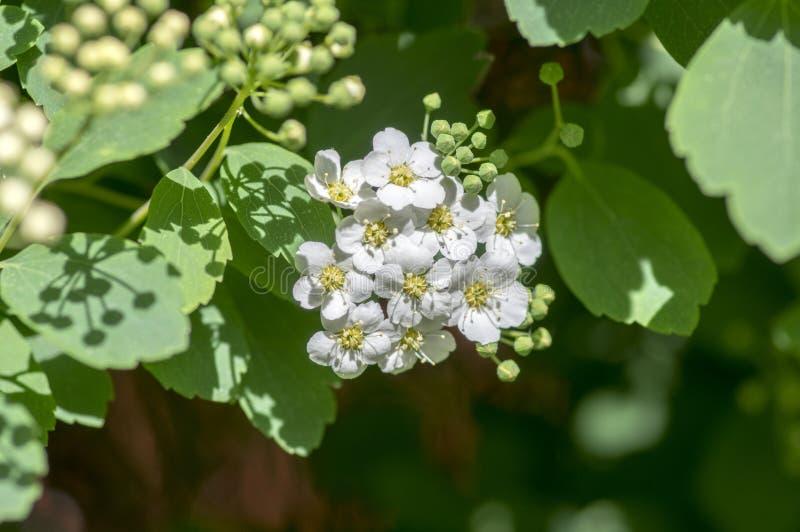 Arbusto de florescência decorativo com as flores brancas em ramos, vanhouttei do cantoniensis do Spiraea do Spiraea na flor fotos de stock royalty free