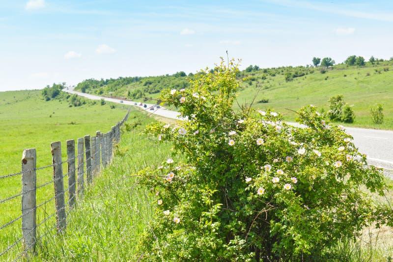 Arbusto de florescência do rosehip perto do longo caminho do asfalto no vale verde em um dia de verão ensolarado com o céu azul b fotos de stock royalty free