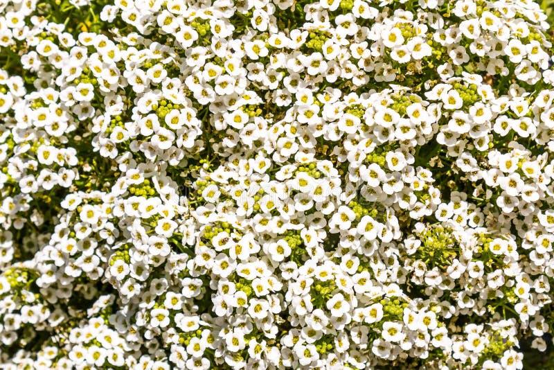 Arbusto de florescência do Spiraea nupcial da grinalda foto de stock royalty free