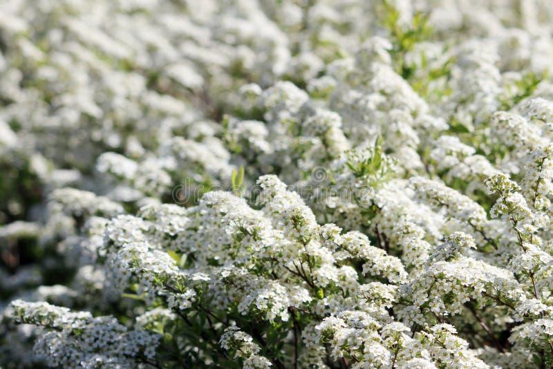 Arbusto de floresc?ncia Incredibly exuberante do spiraea branco fotos de stock royalty free