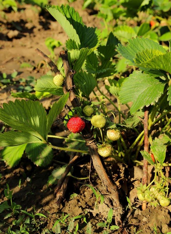 Arbusto de fresa con las bayas fotografía de archivo libre de regalías