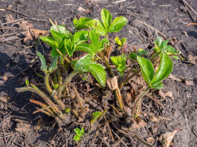 Arbusto de fresa preparado para la invernada después de lanzamientos viejos de la poda imagen de archivo libre de regalías