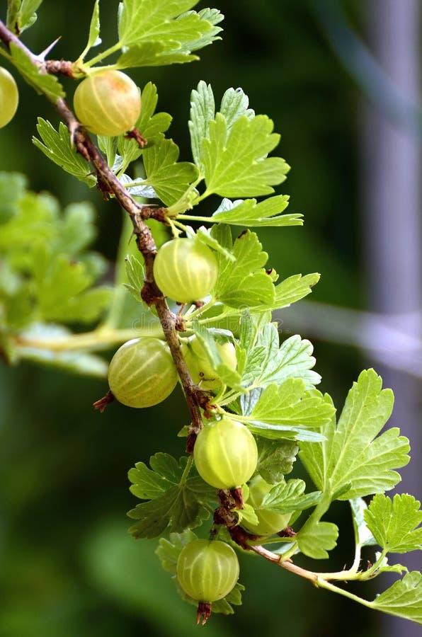Arbusto de Gooseberry fotografia de stock royalty free