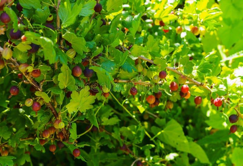 Arbusto de groselha com as bagas maduras no jardim do verão fotos de stock
