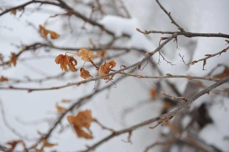 Arbusto de grosella negra fotos de archivo libres de regalías