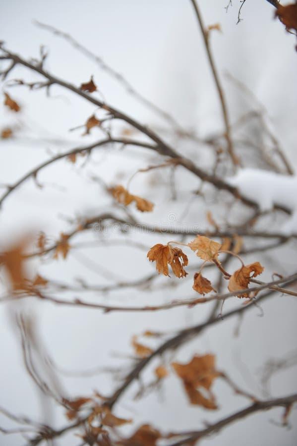 Arbusto de grosella negra fotos de archivo