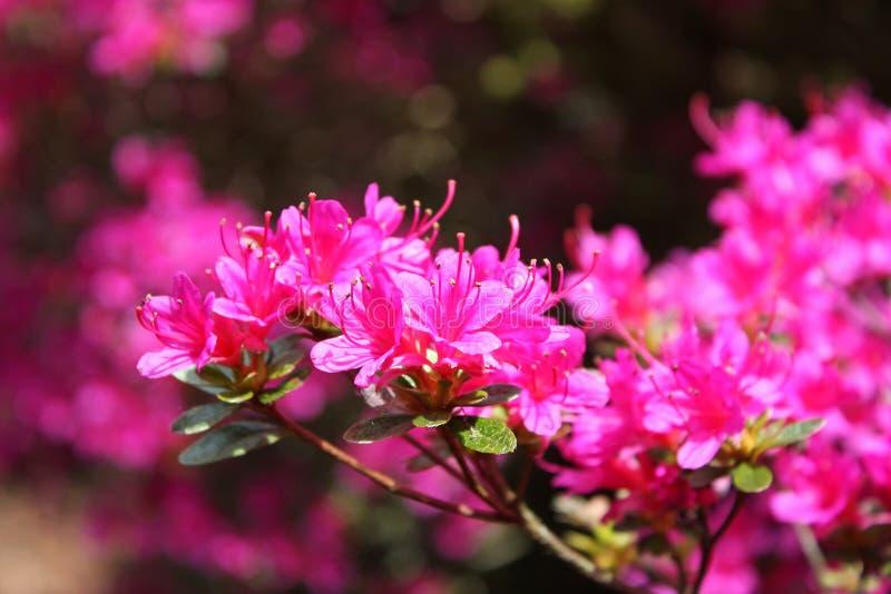 Arbusto de la azalea foto de archivo libre de regalías