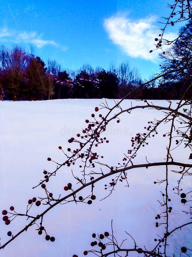 Arbusto de la baya en nieve imágenes de archivo libres de regalías