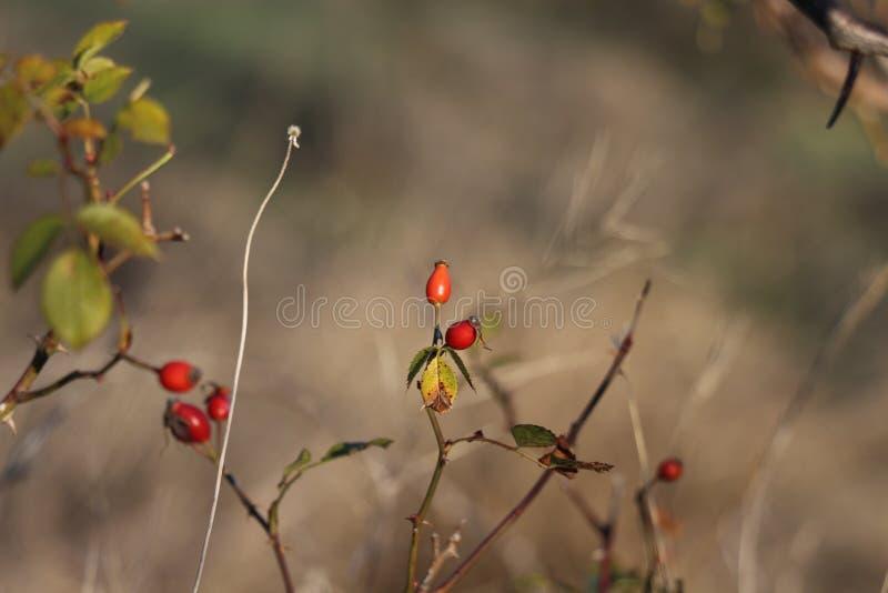 Arbusto de la cadera fotos de archivo libres de regalías