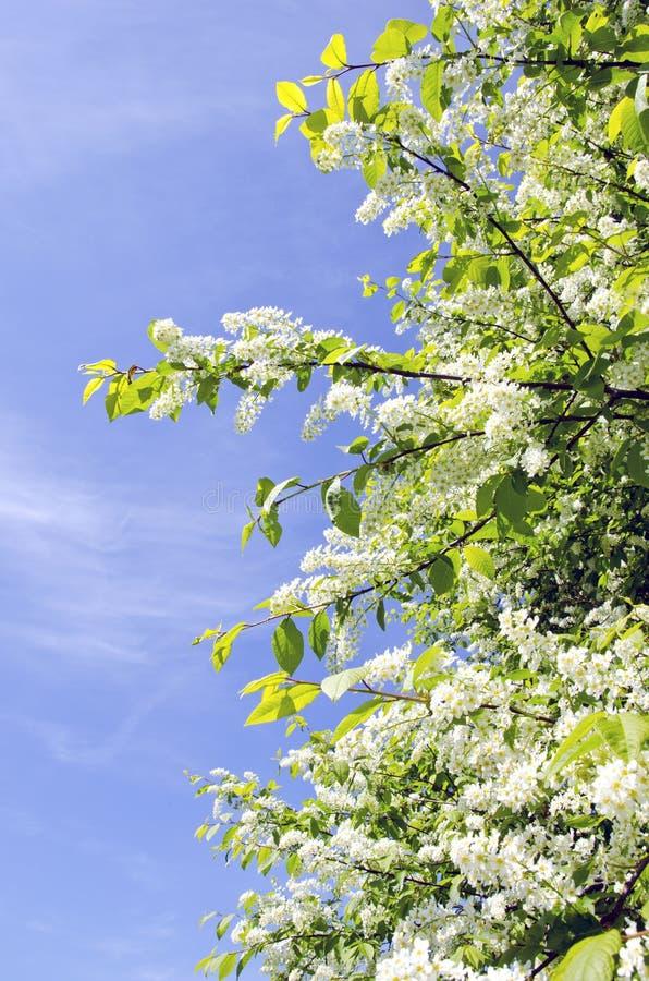 Arbusto de la cereza de pájaro que florece en resorte en el cielo azul fotos de archivo