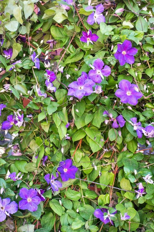 Arbusto de la flor de la clemátide imagenes de archivo