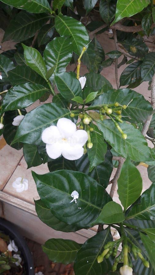Arbusto de la flor del jazmín It& x27; almeja de s y blanco puro pacífico fotografía de archivo