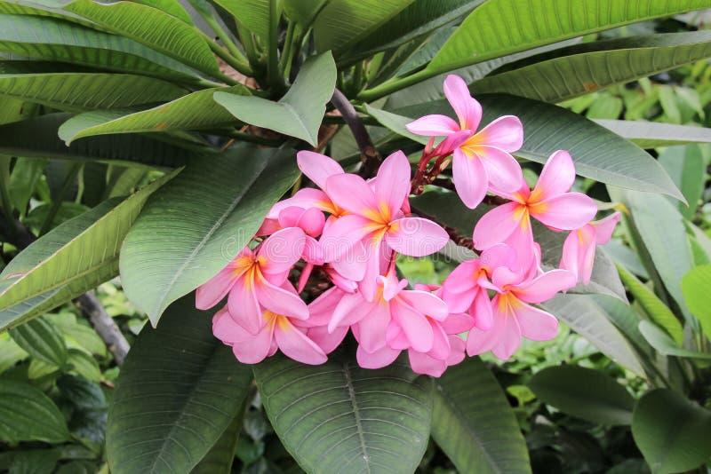 Arbusto de la flor, flor hermoso del Plumeria o del Frangipani foto de archivo libre de regalías