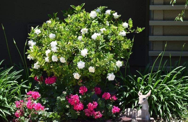 Arbusto de la gardenia en la plena floración foto de archivo