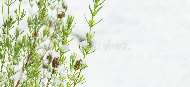 Arbusto de la lavanda delante de la nieve, fondo hivernal fotos de archivo