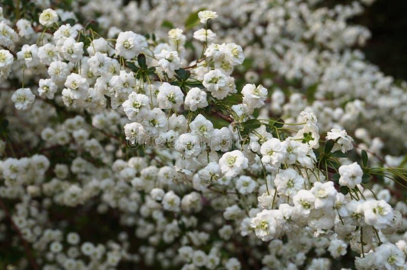 Arbusto de la rama con las pequeñas flores blancas fotografía de archivo libre de regalías