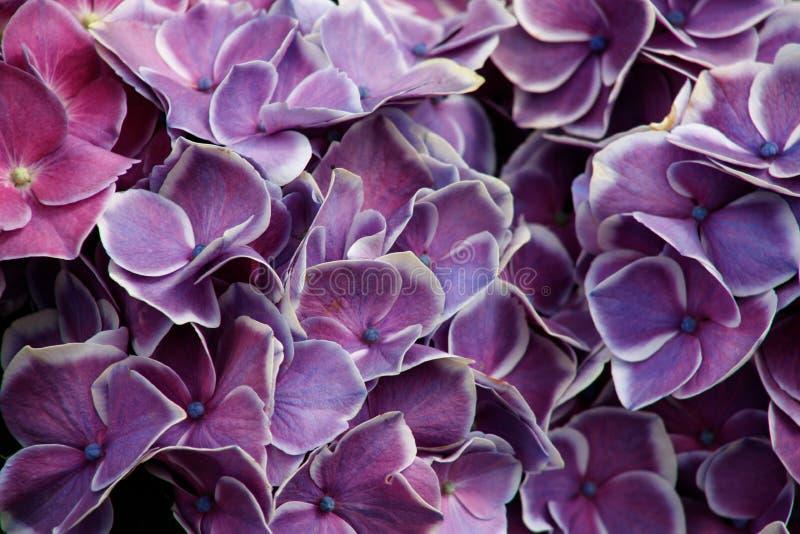 Arbusto de las flores de la hortensia Hydrangea p?rpura Jardín de la hortensia Floración hermosa de las hortensias de Macrophylla imagen de archivo libre de regalías