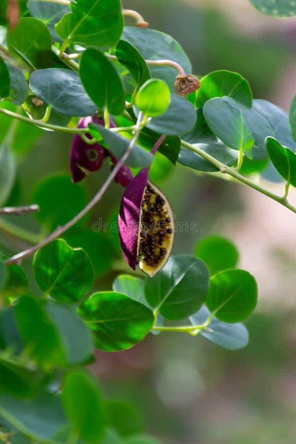 Arbusto de las ramas de la planta de la alcaparra, del spinosa de las alcaparras o del Capparis con las hojas y el brote verdes fotografía de archivo libre de regalías