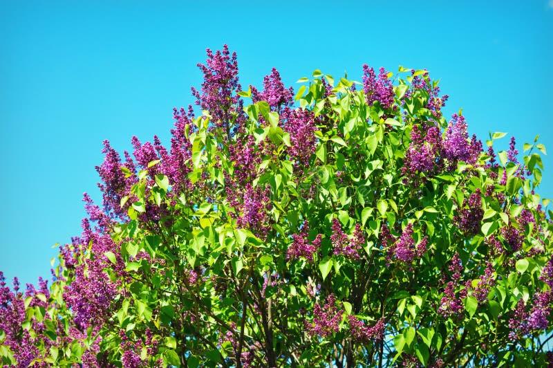 Arbusto de lila foto de archivo libre de regalías
