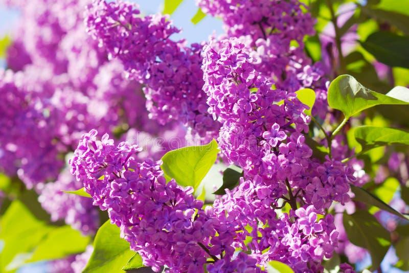 Arbusto de lilac roxo fotografia de stock royalty free