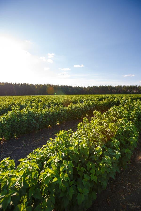 Arbusto de los arándanos, arbustos con las bayas futuras contra el cielo azul Granja con las bayas imágenes de archivo libres de regalías