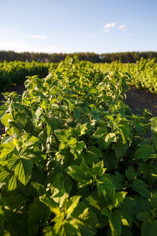 Arbusto de los arándanos, arbustos con las bayas futuras contra el cielo azul Granja con las bayas imagen de archivo