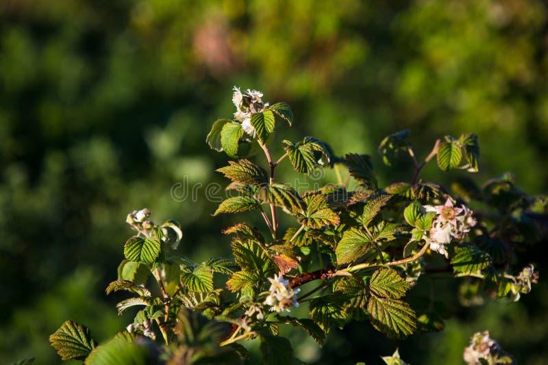 Arbusto de los arándanos, arbustos con las bayas futuras contra el cielo azul Granja con las bayas fotos de archivo