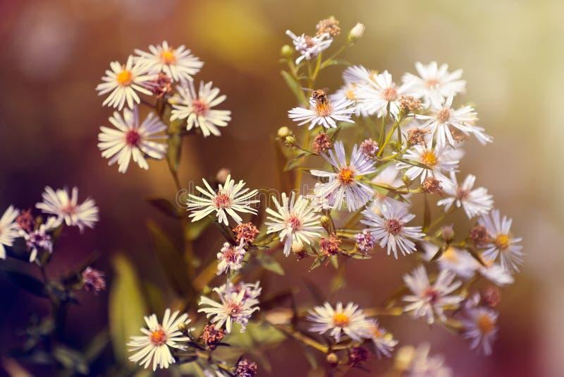 Arbusto de margarita imagen de archivo libre de regalías