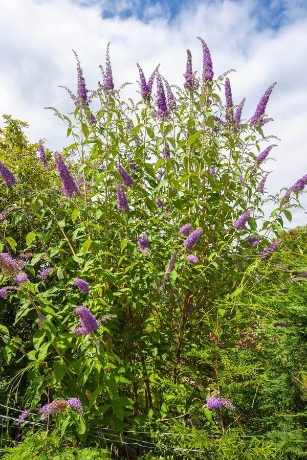 Arbusto de mariposa arbusto de mariposa violeta lila del for Arbusto de jardin
