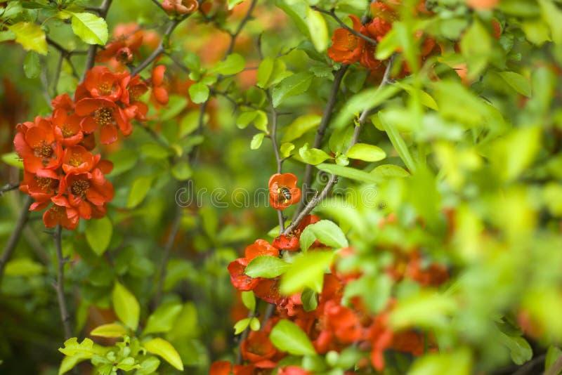 Arbusto de membrillo de florecimiento de la primavera con las flores rojas imagen de archivo