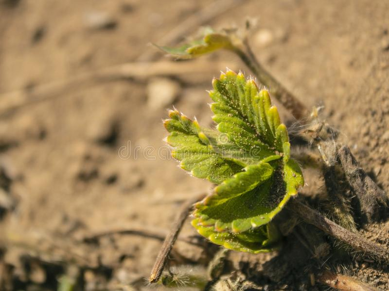 Arbusto de morango verde novo crescido na terra Crescimento e desenvolvimento imagens de stock royalty free