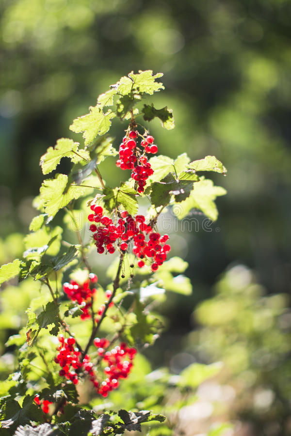 Arbusto de pasa roja fotografía de archivo libre de regalías