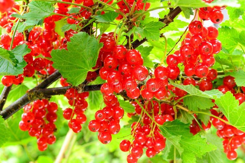 Arbusto de passa de Corinto vermelha foto de stock royalty free