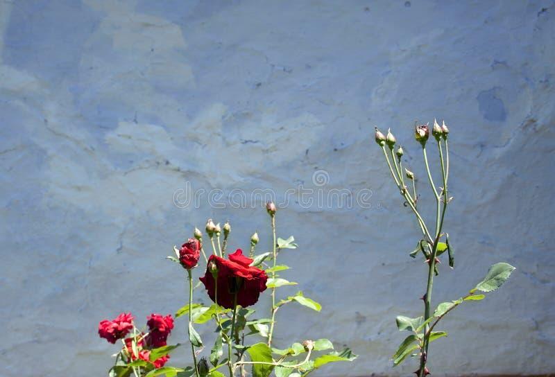 Arbusto de rosas foto de stock royalty free