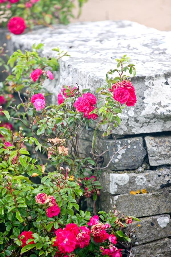 Arbusto de rosas do rosa selvagem, perto de uma parede de pedra fotografia de stock