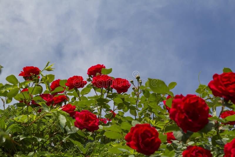Arbusto de rosas rojas foto de archivo libre de regalías