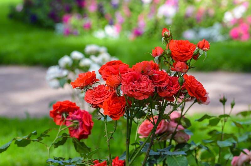 Arbusto de rosas vermelhas com o jardim obscuro do verão no fundo Catherine Park em St Petersburg, Pushkin, selo de Tsarskoye foto de stock royalty free